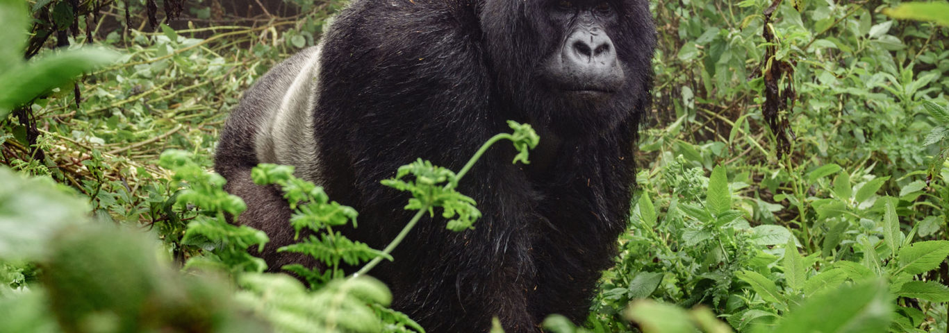 Ein Gorilla im Regenwald von Bwindi
