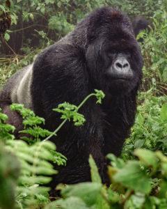 Reisetipps Uganda, Bwindi Impenetrable National Park Uganda