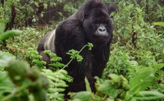 Uganda Rundreise Ein Gorilla unterwegs im Regenwald von Bwindi