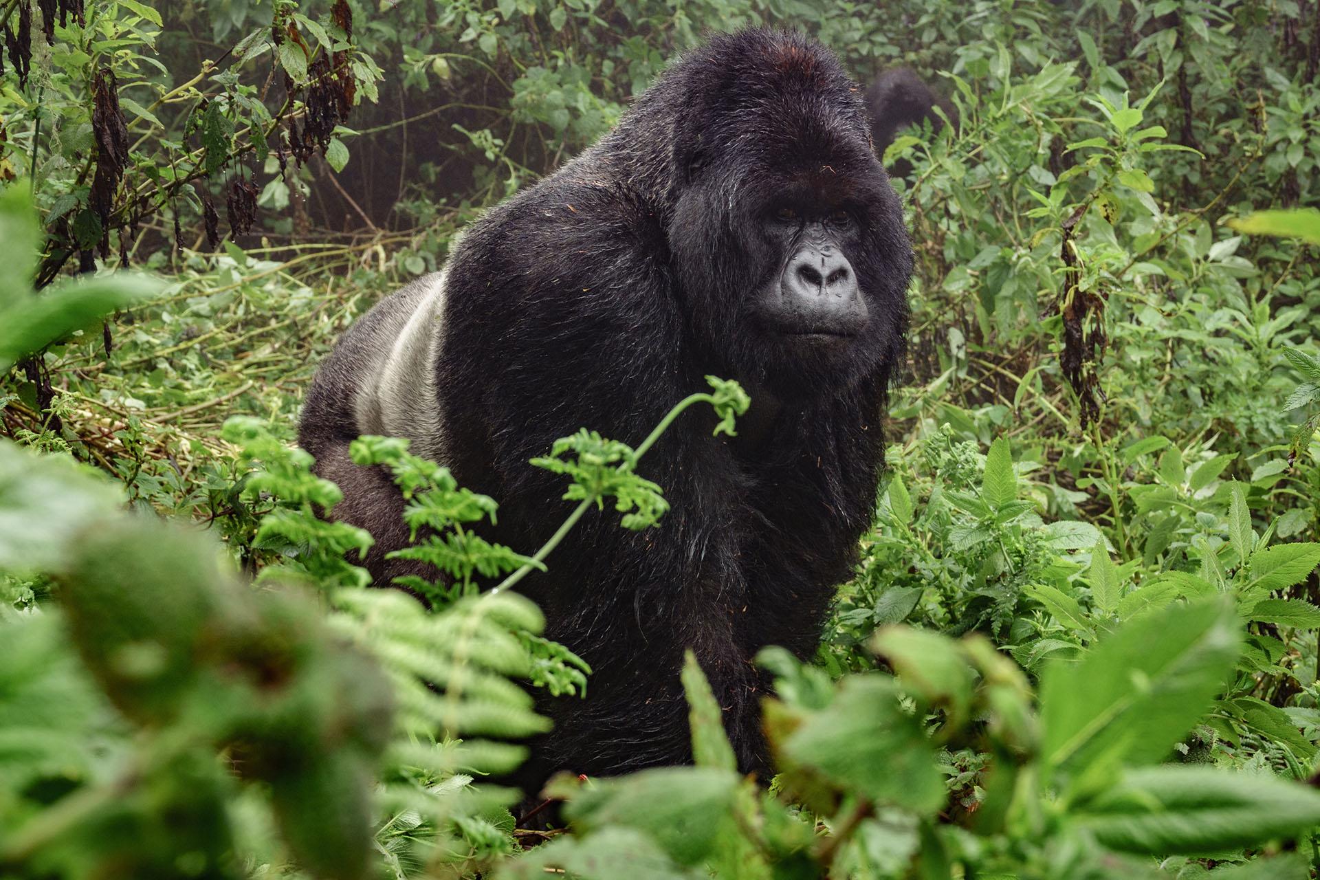 Afrika Safari beste Reisezeit, Reisetipps Uganda, Bwindi Impenetrable National Park Uganda, Rundreise UGANDA, individuelle Rundreise UGANDA, Mietwagenrundreise UGANDA, Reise UGANDA, erlebe UGANDA, Selbstfahrer UGANDA, Kleingruppenreise UGANDA, UGANDA auf eigene Faust, Gruppenreise UGANDA, Urlaub in UGANDA, Ferien in UGANDA, Familienreise UGANDA, Flitterwochen UGANDA, Hochzeitsreise UGANDA, Safari Uganda