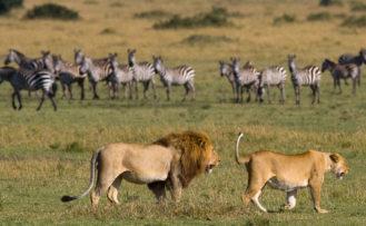 Kenia Rundreise Ein Löwenpärchen beobachtet eine Zebra-Herde im Masai Mara Nationalpark