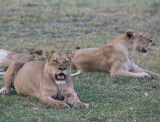 Botwana Rundreise zwei Löwen liegen im grünen Gras im Moremi Wildlife Reserve