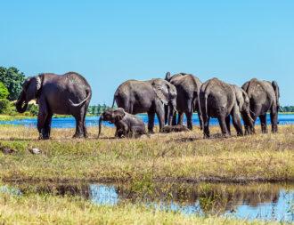 Botswana Rundreise fünf ausgewachsene Elefanten und ein Elefantenbaby am Flussufer von Okavango Delta