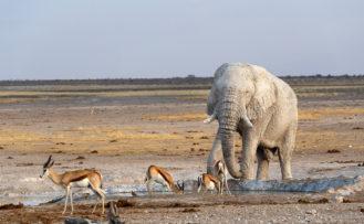 Botswana Rundreise Elefant trinkt Wasser im Savute Reserve