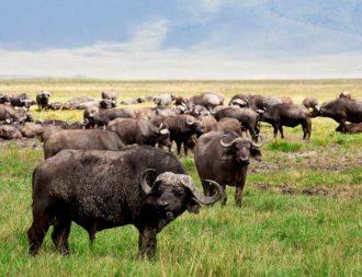 Büffelherde in der grünen Serengeti