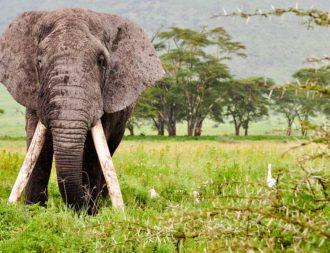 Auf einer Tansania Safari Reise im Ngorongoro Krater einem riesigen Elefanten begegnet