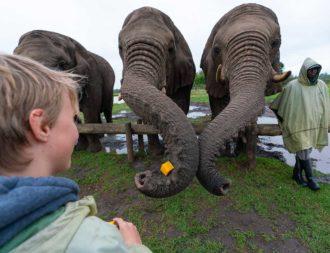 Junge füttert Elefanten in einer Auffangstation im Plettenberg Bay
