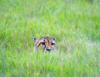 Versteckten Gepard im Gras der Serengeti bei einer Kenia Safari Reise entdeckt