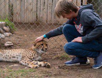 Junge streichelt Gepard in einer Auffangstation
