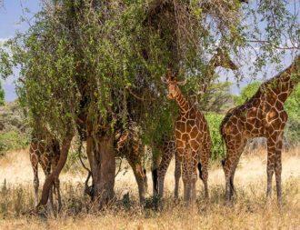Giraffen stehen im Busch während einer Kenia Safari Rundreise