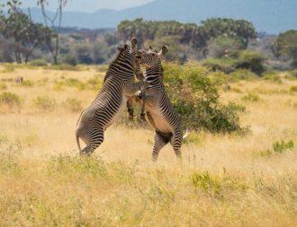 Grevy Zebras auf Kenia Safari Reise