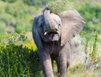 Elefant wirft Busch mit Rüssel auf seinen Rücken bei einer Südafrika Safari Reise