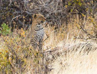 Leopard im Samburu National Reservat bei einer Kenia Safari