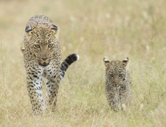Leoparden Mama mit Sohn in der Serengeti