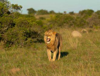 Löwe brüllt im Mkomazi Nationalpark auf Tansania Safari Reisen