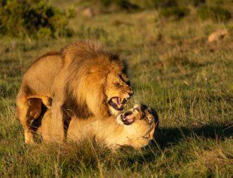 Löwen bei der Paarung im Lalibela Game Reserve während einer Südafrika Safari Reise