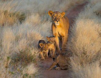 Eine junge Löwenfamilie im Samburu Nationalpark auf einer Kenia Safari Reise begegnet