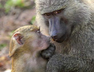 Mutter und Baby Affe im Gombe Nationalpark bei einer Tansania Safari Reise