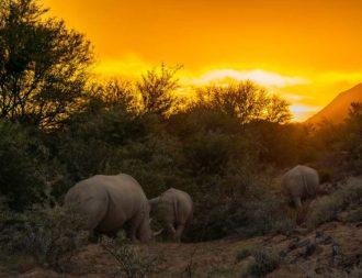 Nashörner laufen Richtung Sonnenuntergang