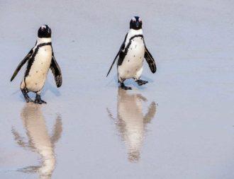Pinguine kommen aus dem Wasser bei Boulders Beach und spiegeln sich im Sand Südafrika