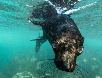 Schnorcheln mit Cape Fur Robben in Hout Bay bei Kapstadt
