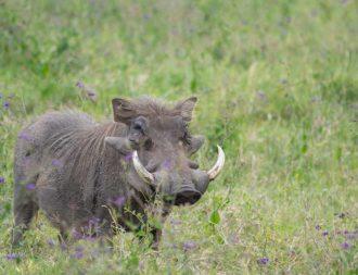 Warzenschwein im Sweetwaters Game Reserve