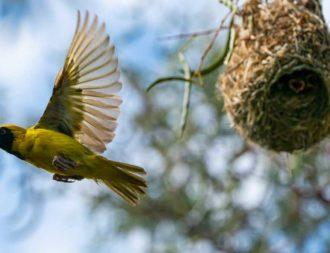 Bei einer Tansania Safari Reise einen Webervogel mit Jungen im Arusha Nationalpark entdeckt