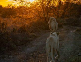 Zwei weisse Löwen laufen während einer Südafrika Safari Reise in den Sonnenaufgang
