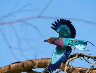 Ein wunderschöner Gabelracke während einer Safari Reise in Kenia