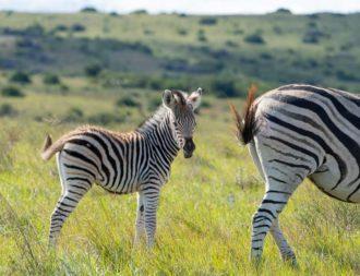 Auf einer Tansania Safari Reise ein Zebra Junges mit Mutter im Tarangire Nationalpark getroffen