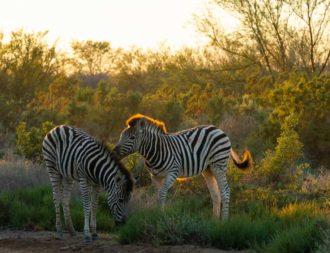 Zwei kleine Zebras spielen im Arusha Nationalpark während einer Tansania Safari Reisen