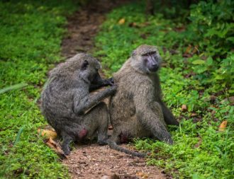 Affen putzen sich im Gombe Nationalpark auf Tansania Safari Reisen