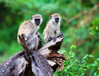 Auf Tansania Safari Reisen Affen im Manyara Nationalpark sehen