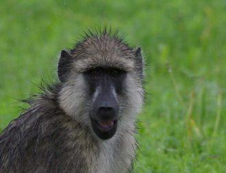 Affen auf einer Tansania Safari Reise im Mikumi Nationalpark