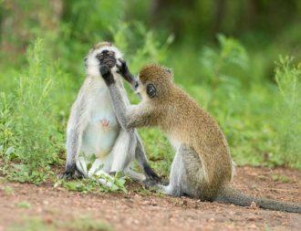 Affen beim putzen im Lake Mburo Nationalpark beobachtet