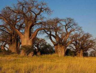 Riesige Bäume Baines Baobabs während Botswana Safari Rundreisen