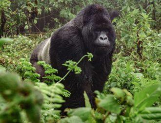 Auf Uganda Safari Reisen einem Berggorilla im Bwindi Nationalpark begegnet