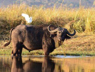 Büffel im Chobe Nationalpark während einer Botswana Safari Reise