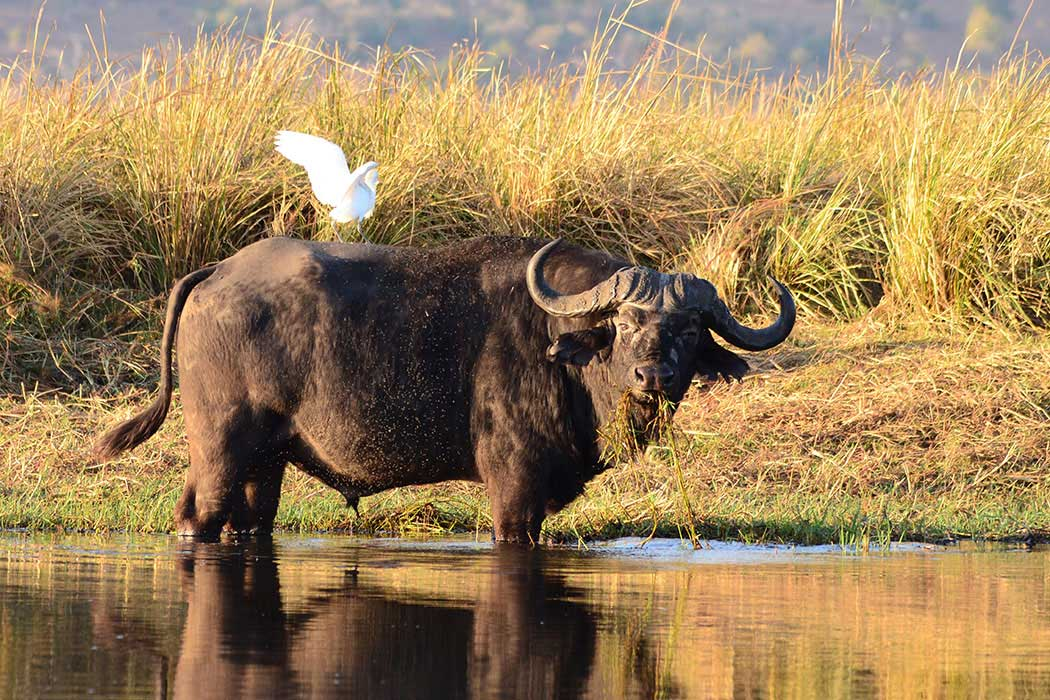 Chobe Nationalpark, Big Five Safari