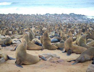 Cape Cross Robben auf eine Namibia Safari Reise