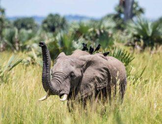 Elefant wird von Vögeln belagert im Murchison Falls während einer Uganda Safari Reise