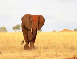 Elefant mit roter Erde läuft auf goldenen Grass im Tsavo Ost Nationalpark während einer Kenia Safari Rundreise