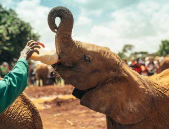 Kleiner Elefant wird im Nairobi Nationalpark mit der Flasche gefüttert während einer Kenia Safari Reise