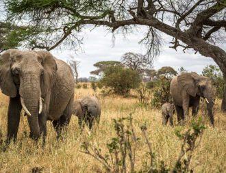 Eine Elefantenherde während der Trockenzeit im Tarangire Nationalpark auf Tansania Safari Tour