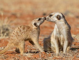 Erdmännchen in der Kalahari während Namibia Safari Rundreisen