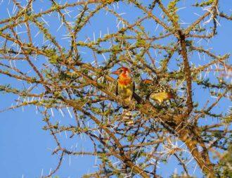 Flammenkopf Bartvogel in der Masai Mara bei Kenia Safari Reisen