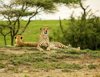 Zwei Geparden liegen auf einem Hügel im Tarangire Nationalpark