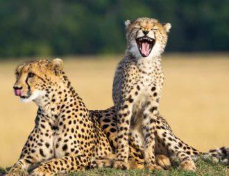 Gepardenfamilie während einer Kenia Safari Reise in der Masai Mara entdeckt