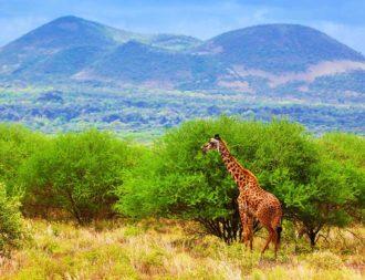 Giraffe steht vor Bäumen im Tsavo West Nationalpark während einer Kenia Safari Reise