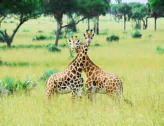 Giraffen im Murchison Falls Nationalpark während Uganda Safari Reisen
